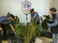 Piante di marijuana nascoste nel granturco, arrestato 50enne a Paterno