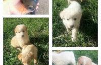 Polla: stupendi cuccioli di cane cercano casa