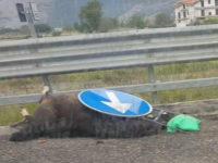 Auto investe un cavallo vagante sull'autostrada A3 nei pressi dello svincolo di Padula