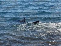 Squalo avvistato a pochi metri dalla riva sulla spiaggia di Policastro