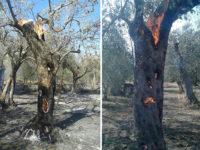 Uliveto in fiamme a Campagna. A fuoco oltre cento piante