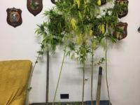 Scoperto ad annaffiare piante di cannabis. Arrestato 52enne di Torre Orsaia