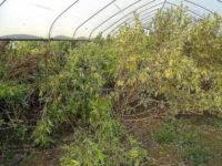 Scoperta vasta piantagione di marijuana a Capaccio. Arrestato 64enne di Trentinara