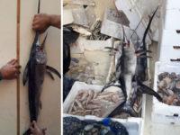 Pesce spada sotto taglia sequestrato dalla Guardia di Finanza lungo la Strada Cilentana