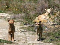 """Randagismo,accalappiati a Sassano 7 cani aggressivi.Pellegrino:""""Sterilizzazione su tutto il territorio"""""""
