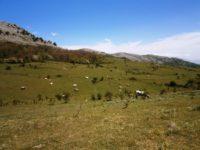 Monte San Giacomo: animali vaganti, i cittadini firmano una petizione per chiedere una soluzione