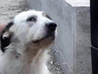 """Smarrito a Teggiano cane dell'associazione """"Il Vallo a 4 Zampe"""""""