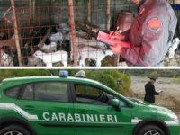 Macellazione di agnelli clandestina. Denunciato titolare di un'azienda zootecnica ad Atena Lucana