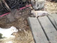 Cucciolata di cani crudelmente avvelenata a Monte San Giacomo con del lumachicida