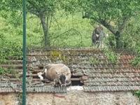 Mucca al pascolo precipita sul tetto di un casolare a Vallo della Lucania. Salvata dai Vigili del Fuoco