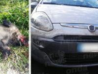 Auto travolge un cinghiale a Tramutola, ferito un giovane di Montesano sulla Marcellana