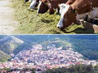 Brucellosi in un allevamento di Sassano. Il Comune ordina la distruzione dei bovini infetti