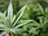 Farmacia 3.0 – la cannabis come possibile farmaco