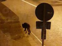 Lupi ad un passo da casa. Avvistato a Roscigno un esemplare in pieno centro abitato