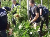 Scoperte piante di marijuana alte circa 3 metri in un terreno a Roccadaspide. Arrestato 63enne