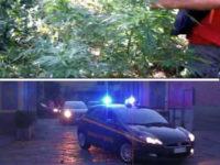 Scoperti a coltivare centinaia di piante di canapa indiana a Roscigno. Tre persone in manette