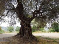 Agropoli: l'ulivo secolare del Castello inserito nell'elenco regionale degli alberi monumentali