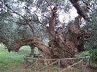 L'ulivo secolare di Capaccio Paestum inserito nell'elenco regionale degli alberi monumentali