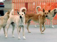 Lotta al randagismo. Il sindaco di Sant'Arsenio ordina la cattura e la sterilizzazione dei cani vaganti