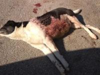 Sala Consilina: cagnolina incinta ritrovata agonizzante dopo alcuni colpi di fucile a pallettoni