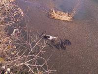 Carcassa di un vitello nel fiume Tanagro a Polla. I Vigili del Fuoco intervengono per il recupero
