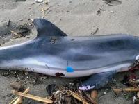 Mareggiata nel Cilento, delfino ritrovato spiaggiato e senza vita sul litorale di Palinuro