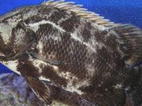 """Pescato a Santa Maria di Castellabate rarissimo esemplare di """"Pesce foglia"""" dal peso di 3 kg"""