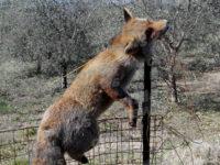 Sala Consilina: volpe senza vita legata da un filo e brutalmente infilzata su un palo
