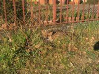 Esemplare di volpe rossa investita a Palomonte salvata grazie all'intervento dei Carabinieri Forestali