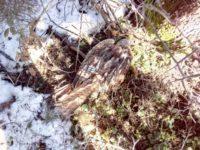 Raro esemplare di nibbio reale ferito da una pala eolica a Ruoti. Salvato dai Carabinieri Forestali