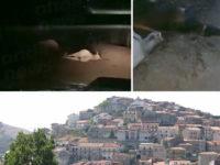 Orrore a Sanza. Le immagini di numerosi bovini ammazzati lungo una strada di montagna