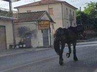 Cavallo vaga sulla S.S.19 tra Padula e Montesano, salvato da un automobilista