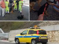 Pastori tedeschi si allontanano da casa e vagano in A2 a Salerno. Salvati dagli uomini dell'Anas