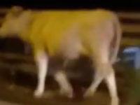 Paura in Tangenziale a Salerno. Mucca vaga tra le auto contromano, bloccata dal personale Anas