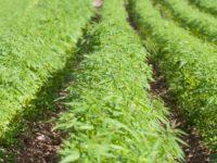 Promozione della coltivazione di canapa industriale in Basilicata. Il M5S presenta interrogazione