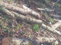 A Montecorvino Rovella la Polizia Municipale sventa un furto di legna tagliata. Caccia ai responsabili