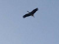 Il maschio della cicogna bianca ritorna nel Vallo di Diano. Lo spettacolo della natura si ripete dopo decenni