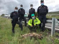 Sul raccordo Sicignano-Potenza rinvenuta la carcassa di una lupa adulta. E' il secondo caso in due mesi