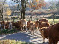 Animali vaganti. 70 bovini inselvatichiti catturati tra Ottati e Castelcivita
