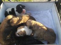 Cuccioli di cane abbandonati poco dopo la nascita in un terreno a Padula. Salvati da 4 giovani
