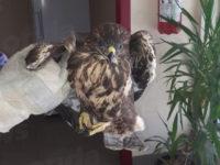 San Pietro al Tanagro: rinvenuto un volatile di specie protetta ferito. Salvato dai veterinari