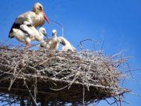 Sala Consilina:la natura regala lo spettacolo delle neonate cicogne bianche sul traliccio in località Termini