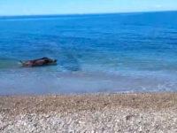 Singolare avvistamento in mare a Salerno. La Guardia Costiera salva un cinghiale ferito