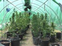 Realizza vicino casa una serra per coltivare la marijuana. Arrestato spacciatore a Battipaglia