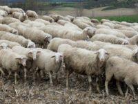 Brucellosi. La Regione Basilicata fissa norme per la salvaguardia di allevatori e cittadini