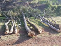 Taglio abusivo di 80 quintali di legna a Montesano. Multa per il titolare di una ditta boschiva