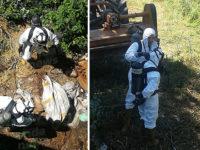 Carcasse di vitelli abbandonate a Padula. Intervengono i Vigili del Fuoco per il recupero