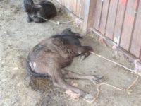Maltrattamento di animali e scarico illecito di reflui.Denunciato titolare di un'azienda della Piana del Sele