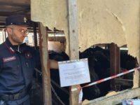 Azienda zootecnica di Palomonte riversa illecitamente i reflui in un terreno. Denunciato il titolare