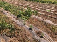 Scoperta piantagione di marijuana in un terreno a Capaccio. Arrestato il responsabile